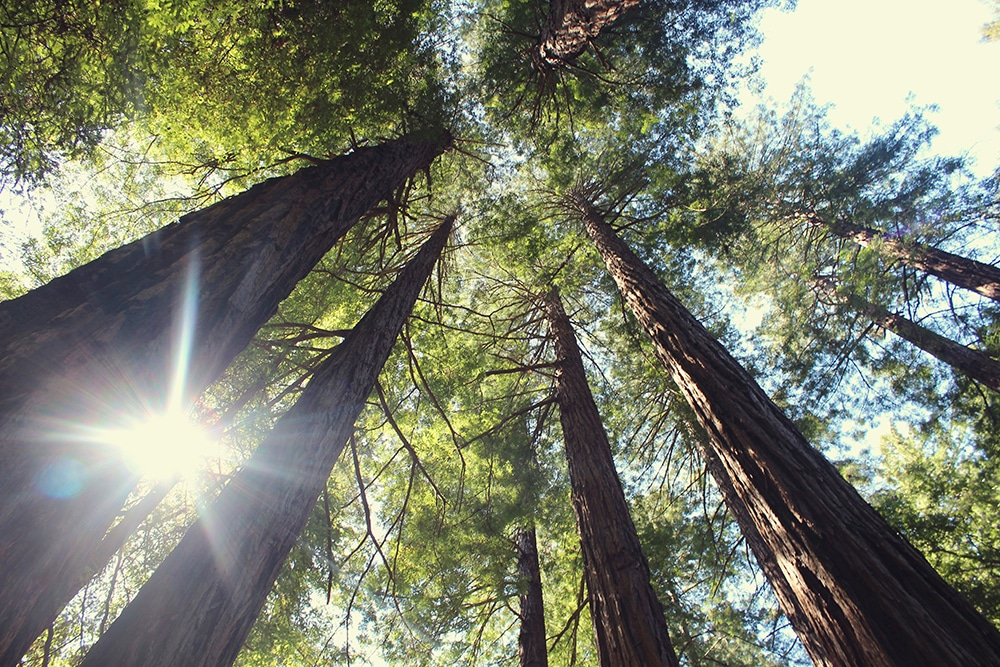 Redwoods can grow to 300 feet or more—the tallest tree on Earth.